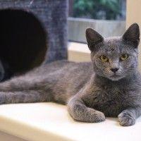 #dogalize Razas Felinas: Gato Azul Ruso caracter y características #dogs #cats #pets