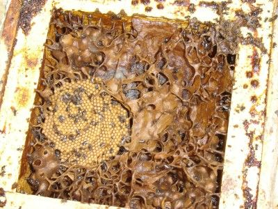 Ecobotanica: Keeping Australian Native Stingless Bees
