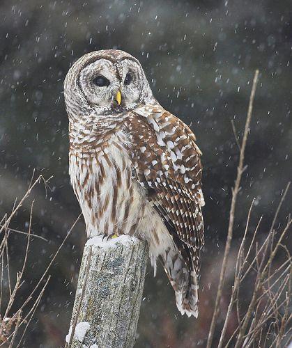 AGAMI Barred Owl 8 Canada 2013 David Hemmings - David Hemmings