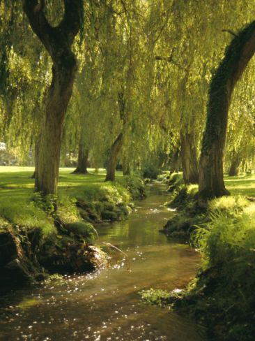 Willow Trees by Forest Stream, New Forest, Hampshire, England, UK,by Dominic Webster