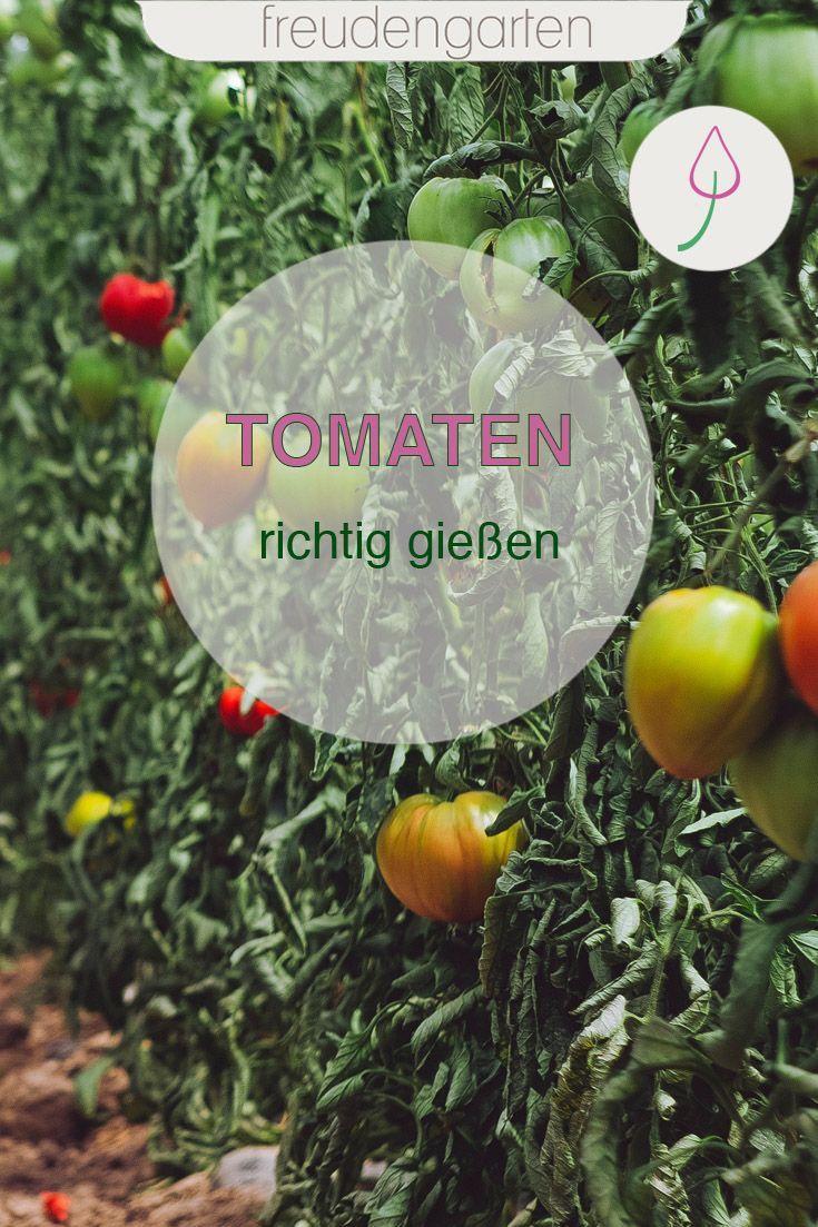 Tomaten Richtig Giessen In 2020 Tomaten Pflanzen Tomaten Gewachshaus Tomaten Anbauen