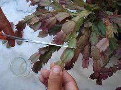 Comment faire des boutures de cactus de Noël