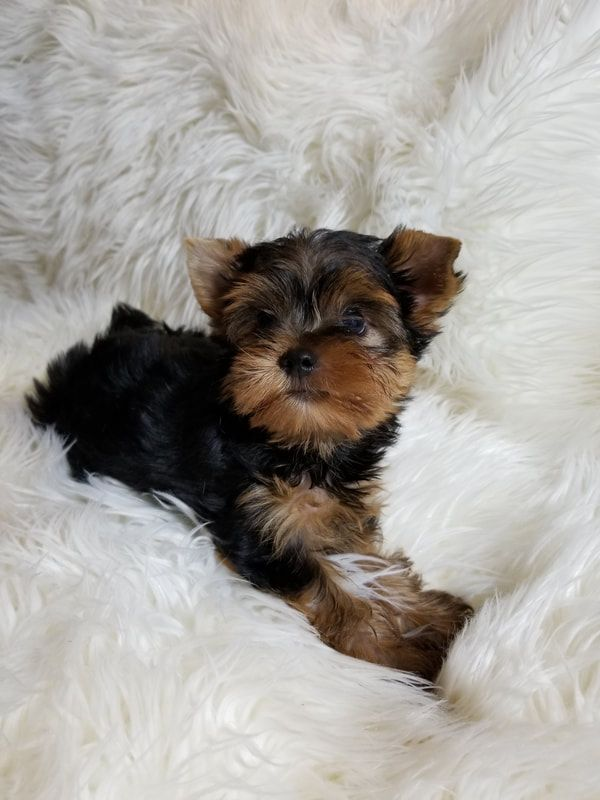 Teacup Yorkie For Sale In Tampa Fl Yorkie Puppies For Sale In Florida Buy Yorkie Puppies Tampa Fl Choco Yorkie Puppy For Sale Yorkie Puppy Teacup Yorkie