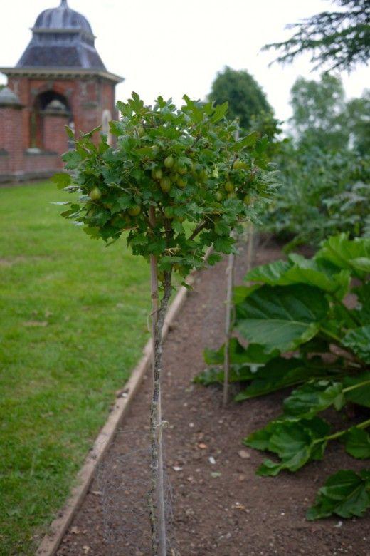 Выращивание крыжовника и красной смородины на штамбе.  Крыжовник, красная смородина — ягодные кустарники. Чтобы вырос хороший, здоровый урожай, удобно их выращивать в штамбовой форме. Это красиво и удобно. Фото: © Matt