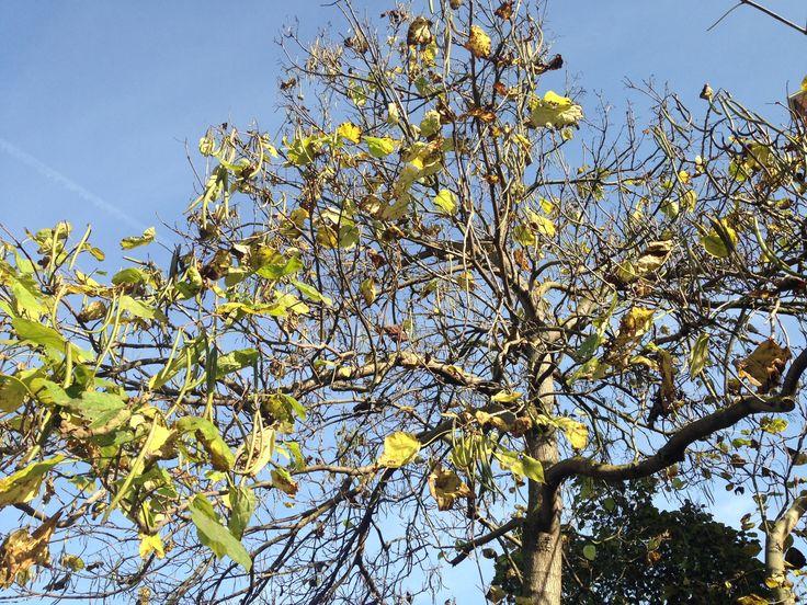 Bean tree in Bonnington