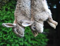 How to: skin, gut, cook rabbit (not a link for the weak stomached. Don't like it, don't look)