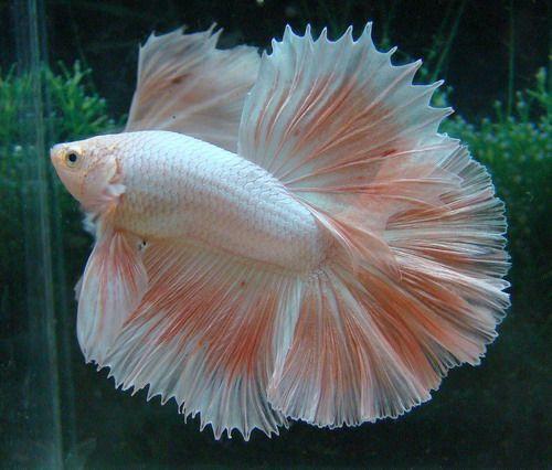 Pink platinum fancy bettas pinterest pink for Pink betta fish