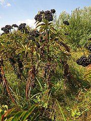 Ami minket érdekel, jelenleg, az a bodza pálinka.A termés begyűjtése augusztus…