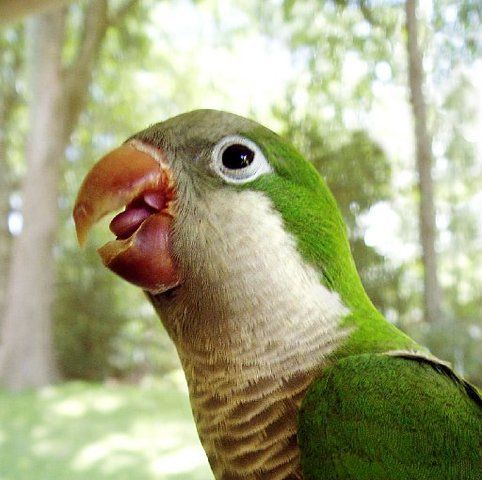 Monk parakeets are native to South America. Released by their American owners on purpose or by accident, the parakeets have formed stable, feral populations in Florida, Connecticut and New York.  Saw 6 of these in Cape Coral this morning