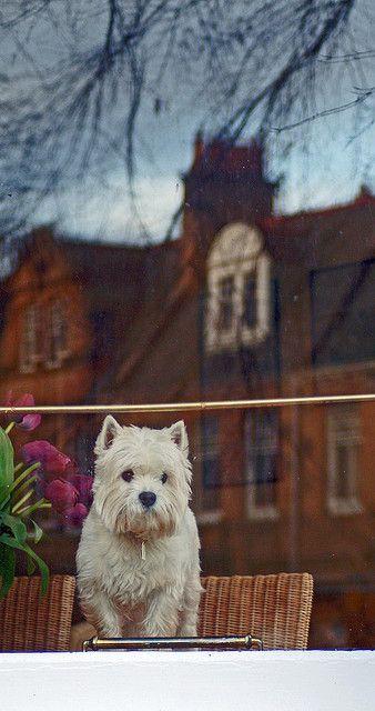 West Highland White Terrier, Edinburgh