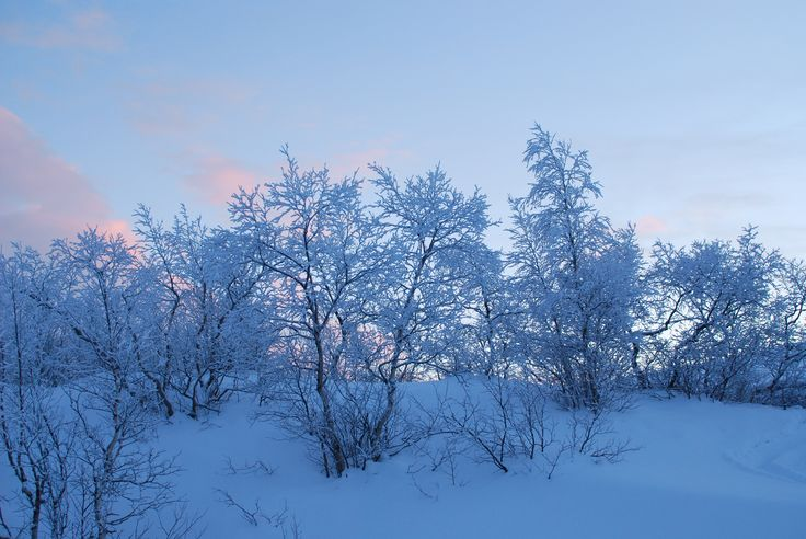 Tout est beau en Laponie, même un buisson tout simple sur le bord de la route!