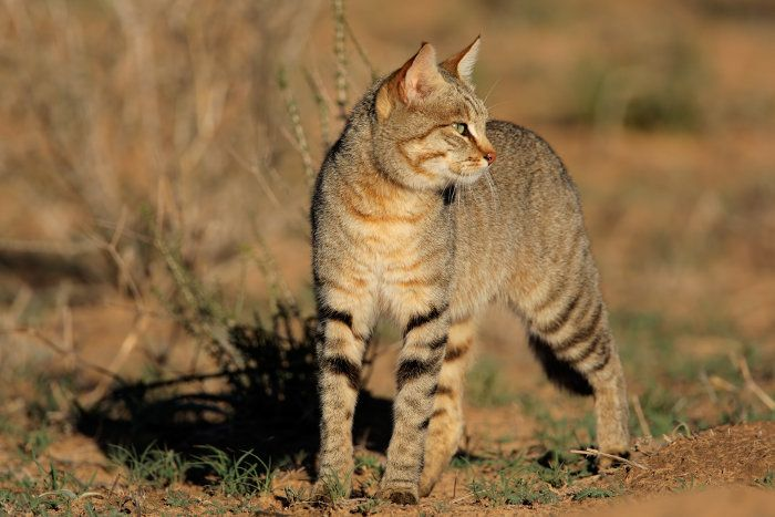 African Wildcat Myth And Truth With Images African Wild Cat