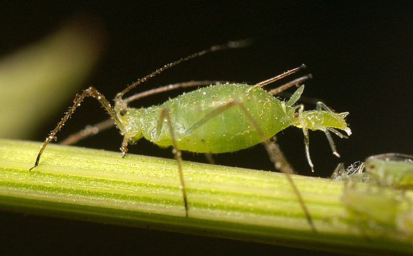 How to Control Aphid Populations Organically. A common pest on many plants, these sap-sucking insects are often noticed feeding in clusters on new plant growth. Here's how to control aphids organically without using toxic sprays:- http://organicveganearth.com/how-to-control-aphid-populations-organically/
