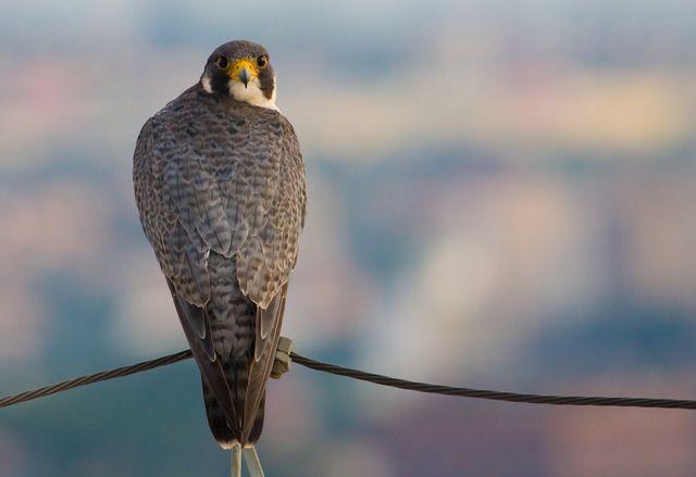 Foto falcão-peregrino (Falco peregrinus) por Guilherme Ortiz | Wiki Aves - A Enciclopédia das Aves do Brasil