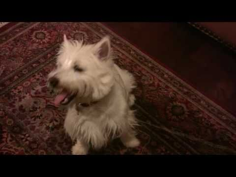 The Dog Dentist - Westie helps pull little girl's tooth.