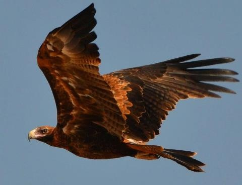 Wedge-tailed Eagle in flight.