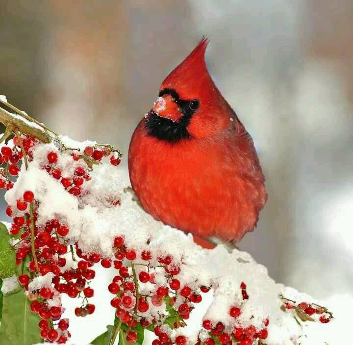 Cardinal Snow Holly Berries