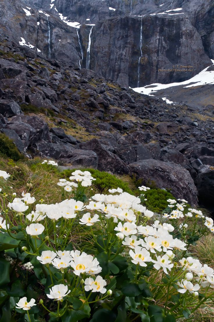 Alpine flowers and some temporary waterfalls on the way to Milford Sound.