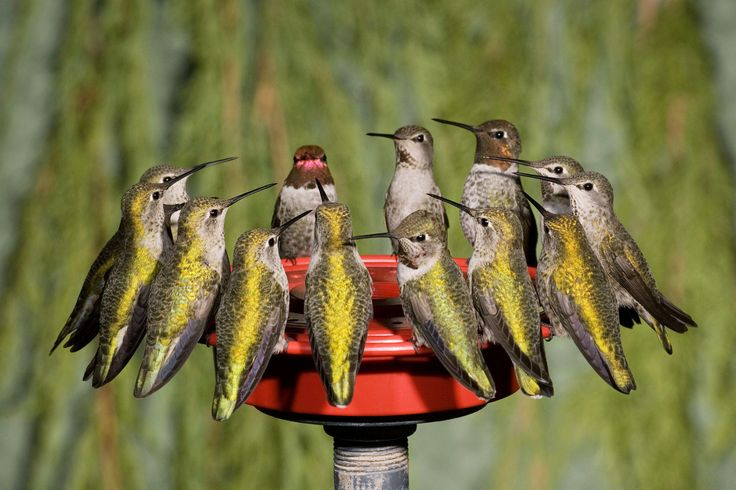 When to Expect Hummingbirds in Your Yard This Spring | Male and female Anna's Hummingbirds crowd a feeder to refuel. Photo: Charles Melton/Alamy