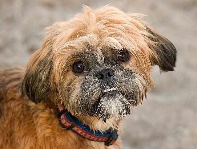 Uber Shih Tzu Shih Tzu Doggy Dogs