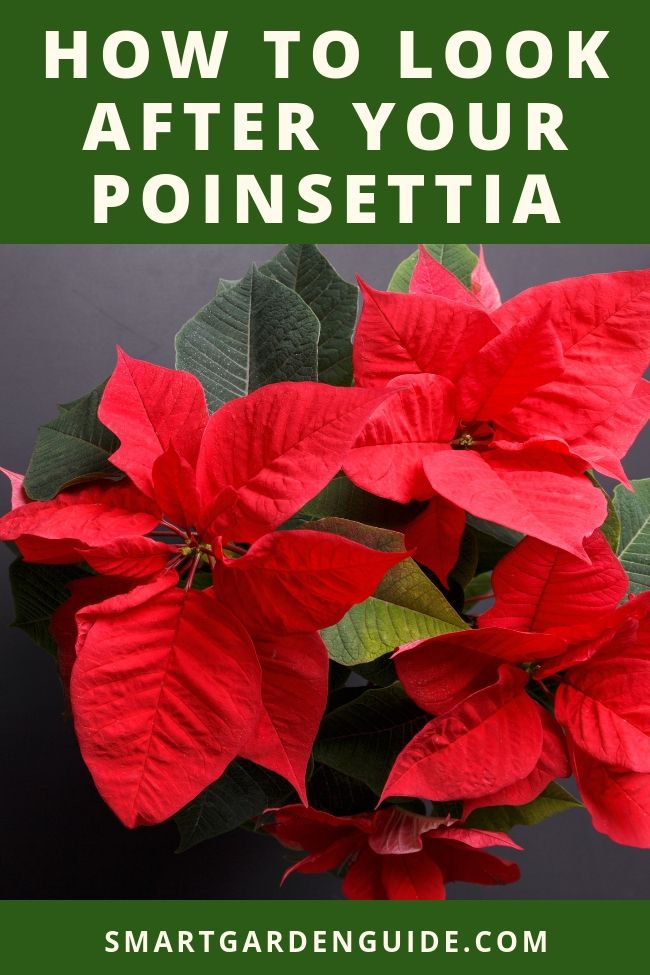 All You Need To Know About Poinsettia Plant Care Top Tips For Poinsettia Care At Christmas And Poinsettia Care Aft Poinsettia Plant Poinsettia Care Plant Care