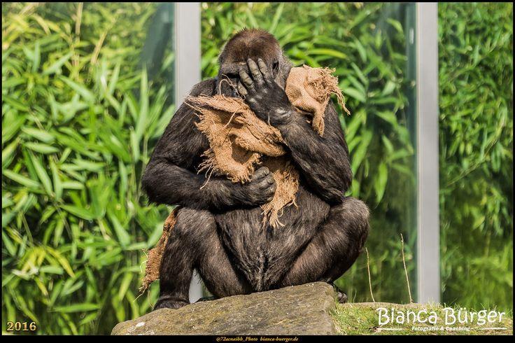 Zoo Berlin 1 - Gorilla #ZooBerlin #Zoo #Berlin #Deutschland #Germany #biancabuergerphotography #igersgermany #igersberlin #IG_Deutschland #IG_Berlin #ig_germany #shootcamp #shootcamp_ig #canon #canondeutschland #EOS5DMarkIII #5Diii #pickmotion #berlinbreeze #diewocheaufinstagram #berlingram #visit_berlin #Tiere #animals #monkey #gorilla #ape #menschenaffe