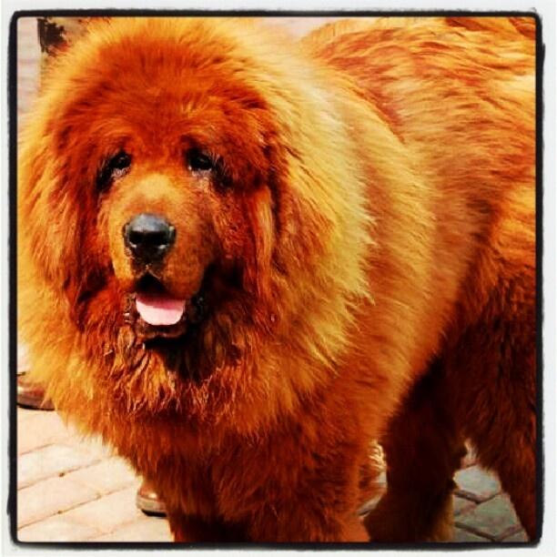 Red Tibetan Mastiff Price Tag: $1,500,000