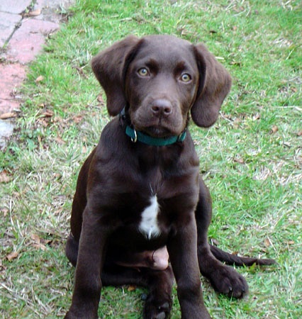 spaniel/ Labrador mix... looks like a lab, stays the size of a spaniel ...