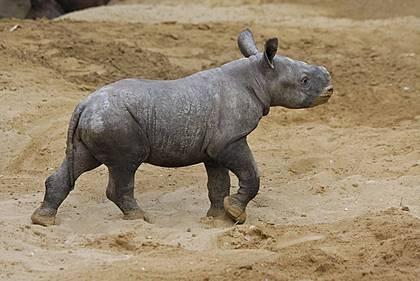 Magdeburg Zoo's new rhino baby born on Christmas Eve.