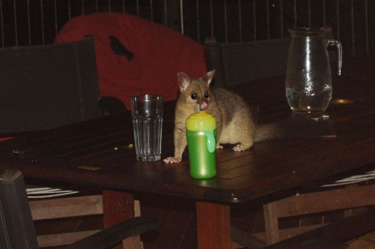 Amongst Gum Trees: possum and wallaby