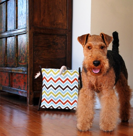 Happy Welsh Terrier--  This looks like my boy, miles ahead..