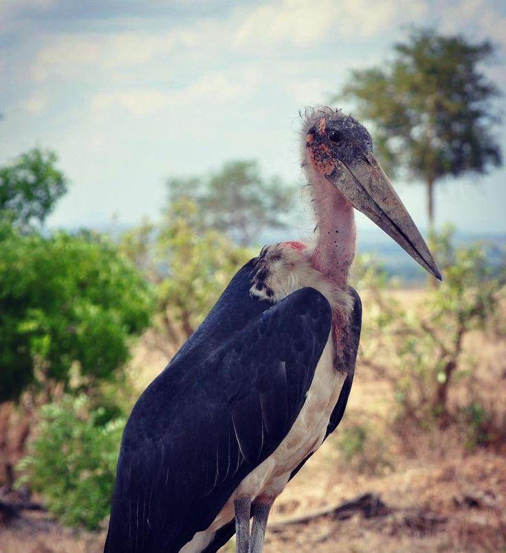#africa #tanzania #mikumi #nationalpark #marabou #uglycute #newfriend #friendlybird #nosey #nikon