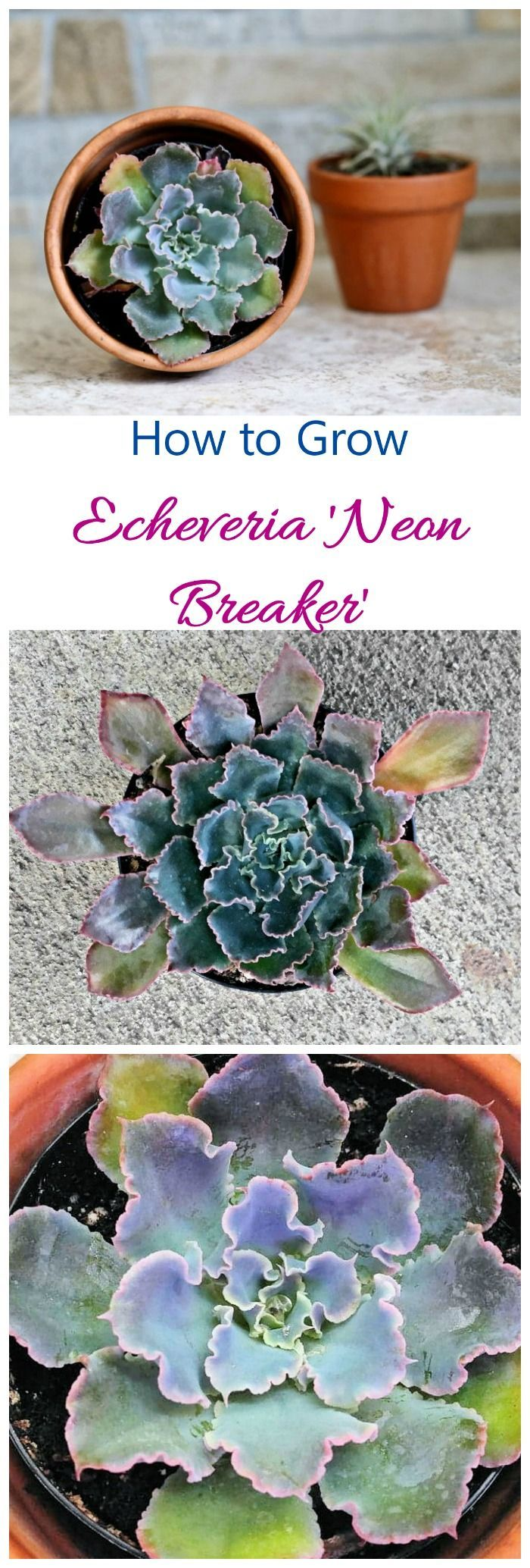 Echeveria Neon Breakers has blue green leaves with deep pin margins and curled edges. It is drought resistant and easy to grow if you follow a few tips. #echeveria #succulents
