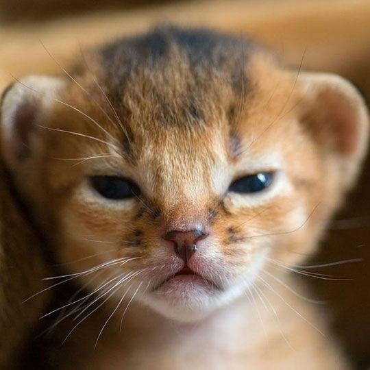 Tiny newborn lion already means business