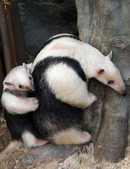 "A three-month-old baby Southern Tamandua ""Konbu"" lies on its mother Tae's back at Sunshine International Aquarium on July 7, 2009 in Tokyo,"