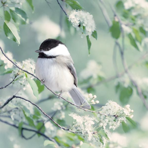 Fine art bird photography print of a sweet chickadee in spring by Allison Trentelman.