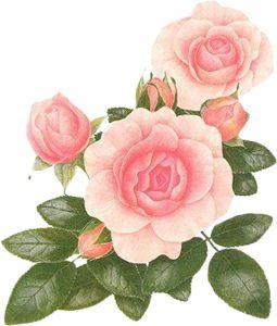 Pink Rose #2 (39).png