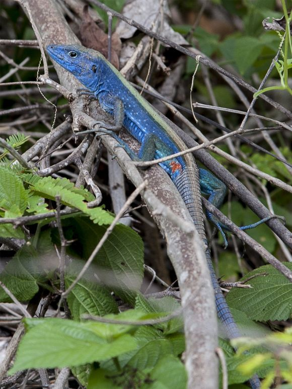 The blue lizard from Old Providence Is.