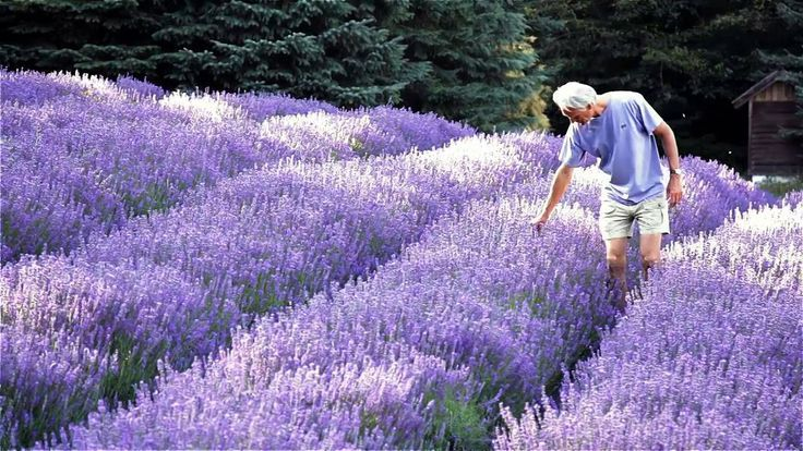 Lavender Farms On Vancouver Island