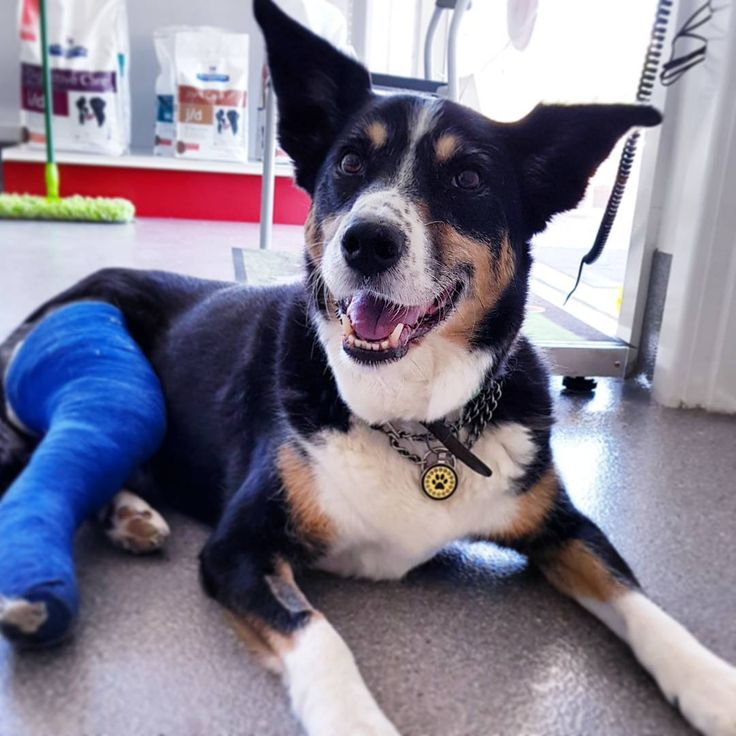 Kiera came to us with her Cruciate Ligament (also referred to as the dog ACL) torn.  TPLO (Tibial Plateau Leveling Osteotomy) surgery was performed & she is back home with her loving family.  Rest up Kiera!