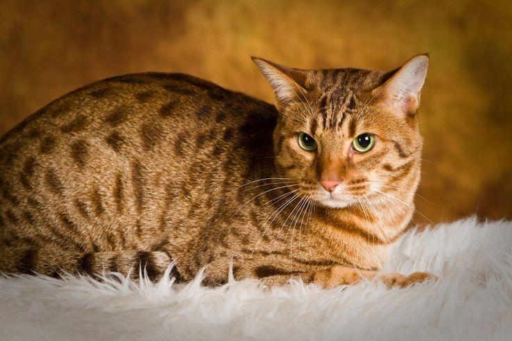 オシキャットは特に猫好きの人にはたまらない品種と言われています。何故でしょうか。表情も一見するとシャープで、時には鋭い目つきなど野生な一面もあり人間の膝に乗るのが大好きなど、見た目と内面のギャップが魅力のオシキャットを考察してみましょう。