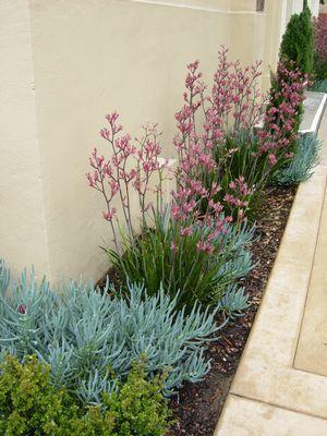 Narrow garden bed featuring Anigozanthos 'Pink Joey' (Pink Joey kangaroo paws) with Senecio mandraliscae in Santa Barbara, CA