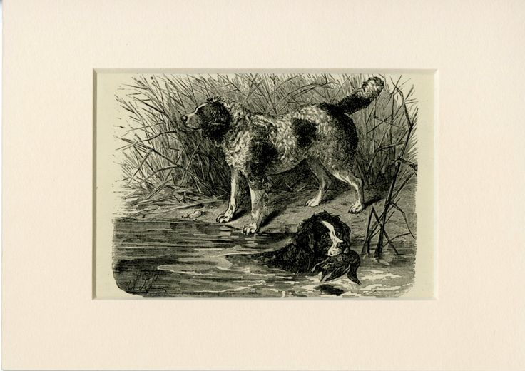 "Springer Spaniel Dog Wall Art, C.1885 - Norfolk Spaniel - Antique Wall Art - Antique Steel Engraving - Dog Gift - Matted 5x7"" by AntiquePrintBoutique on Etsy"
