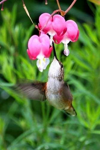 Bleeding Heart and Hummingbird