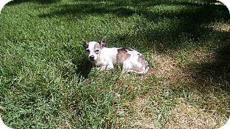Denver, CO - Chihuahua. Meet Brett, a dog for adoption. http://www.adoptapet.com/pet/16290250-denver-colorado-chihuahua