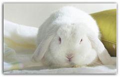 Декоративный кролик - содержание, уход и кормление Еще в Древнем Китае кролики считались священными животными, а в Греции в их честь строили алтари. Кролики имели очень большую популярность в древние времена, и в современном мире этот успех не покинул этих замечательных и дружелюбных зверьков. ...  http://c.cpl1.ru/7kNM