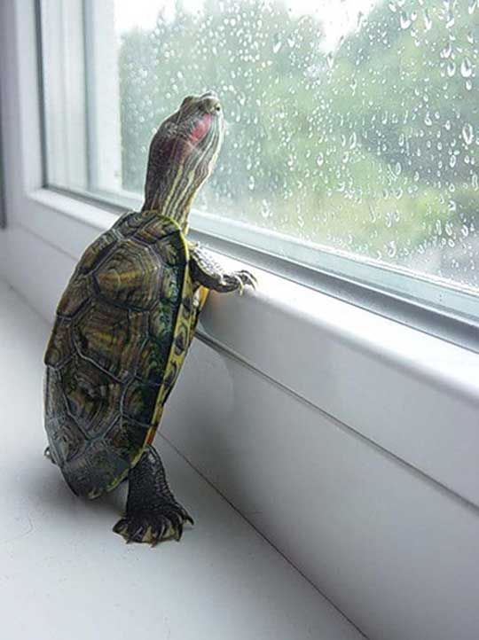 just a turtle looking out a window