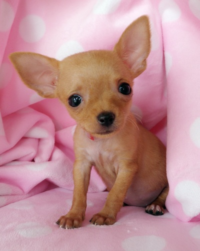 This little teacup chihuahua is too cute! Keep your pet smelling fresh: www.BuyPetRefresh.com