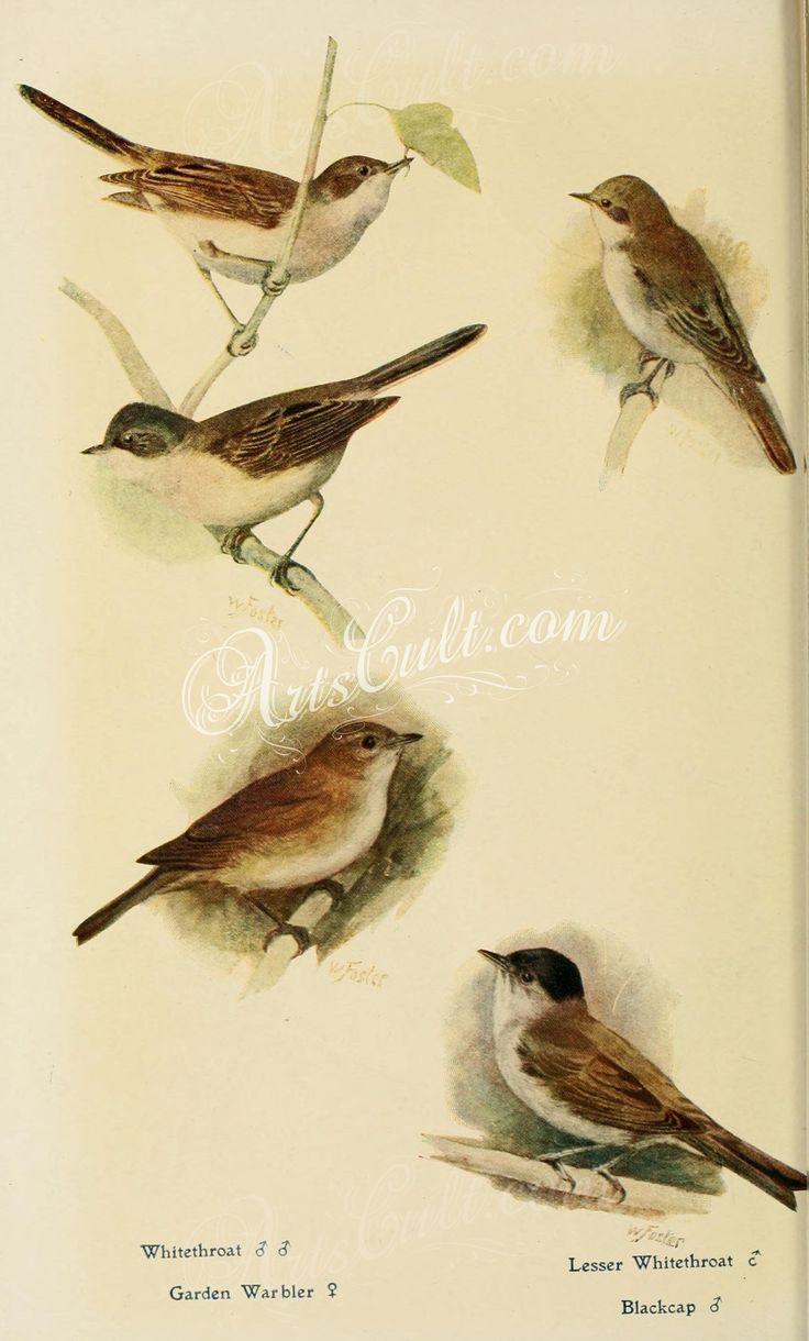 Whitethroat, Garden Warbler, Lesser Whitethroat, Blackcap      ...