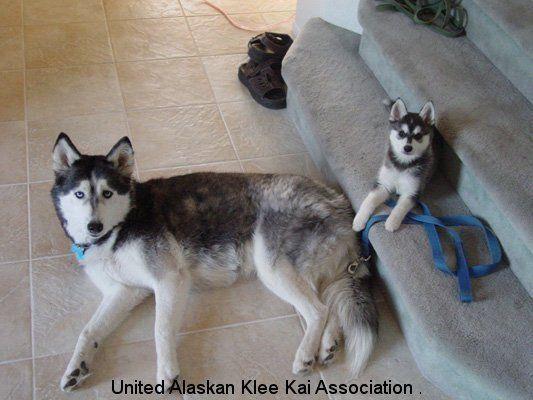 My new obsession Alaskan Klee Kai essentially a mini husky so freakin cute